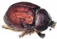 Cochineal insect used as a food coloring agent.